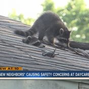 Daycare Owner Frustrated With Raccoons coming From House Next Door
